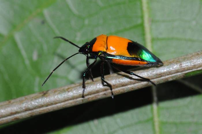 Colourful insects at the Green Hoose, Lockhart River, Cape York.jpg