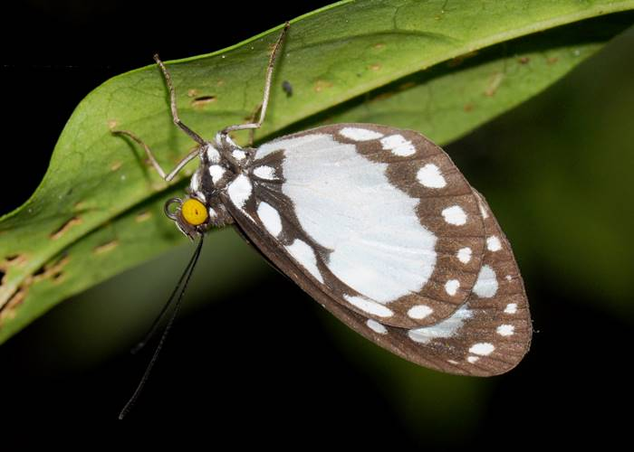 A common butterfly that visits the Green Hoose, Lockhart River, Cape York.jpg