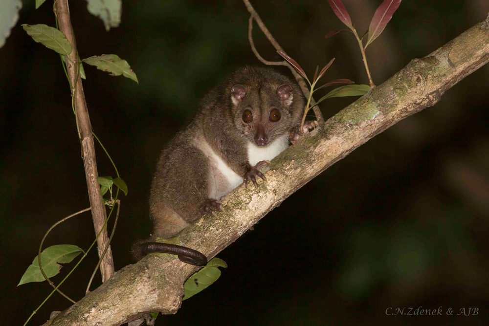 The Spotted (Grey) Cuscus (Spilocuscus maculatus)