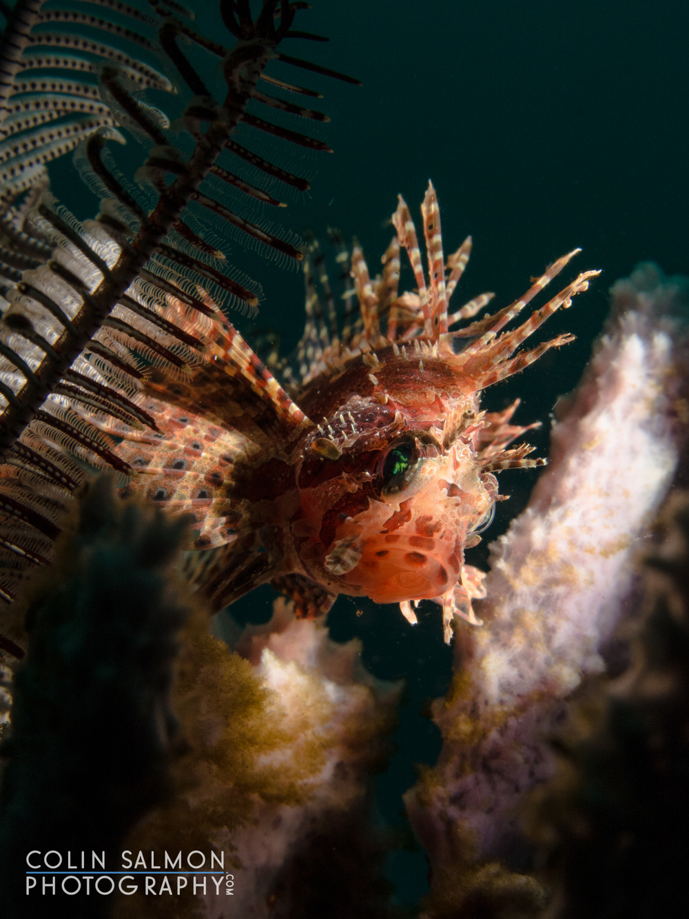 Lionfish  (Pterois antennata) - Dauin,Philippines