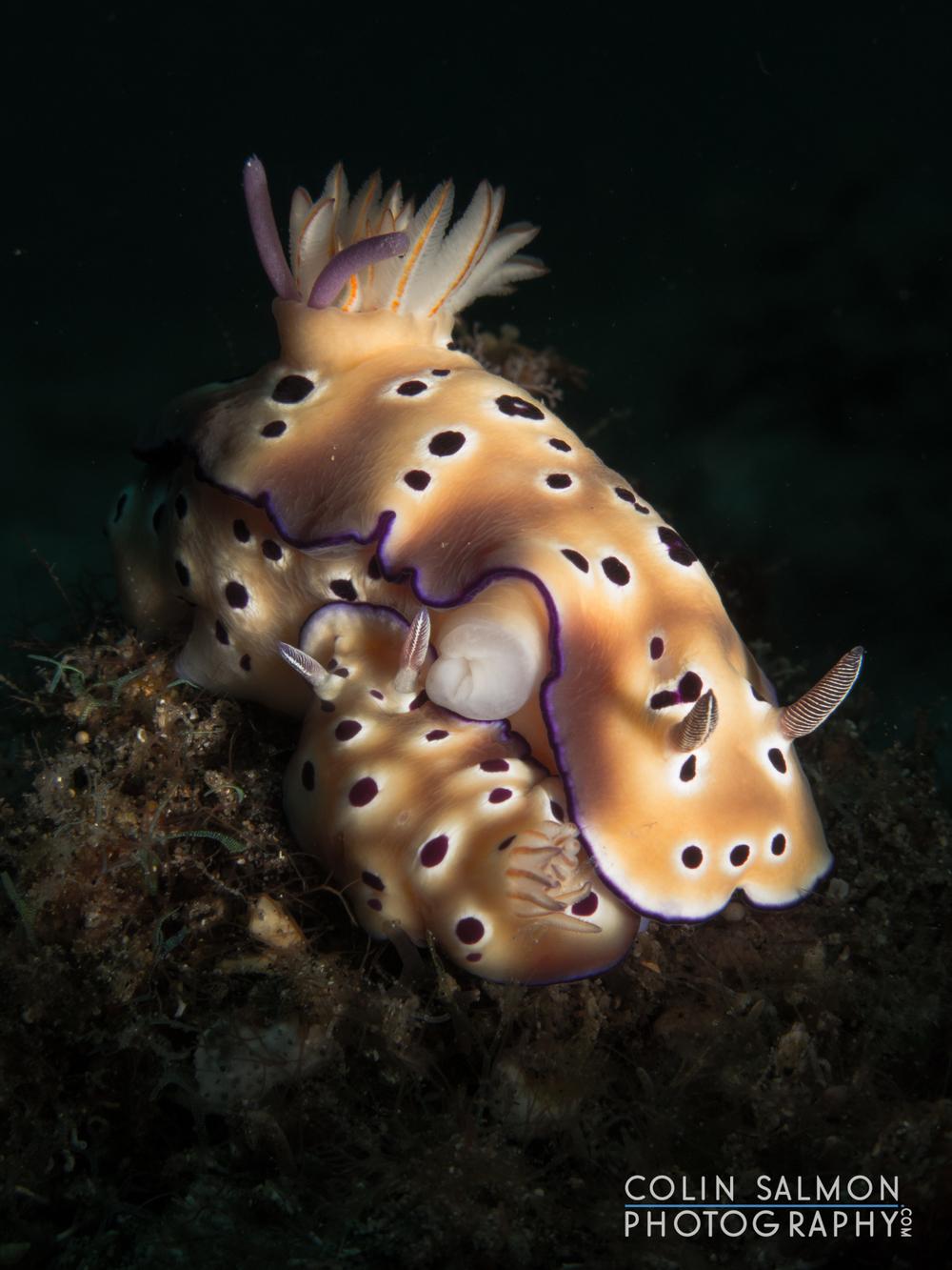 Nudibranchs mating  (   Hypselodoris tryoni   )  - Dauin, Philippines