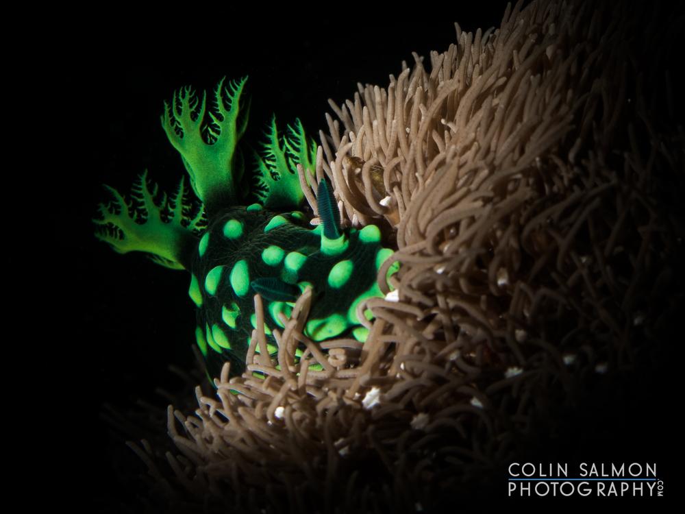 Nudibranch  (   Nembrotha cristata   )  - Dauin,  Philippines