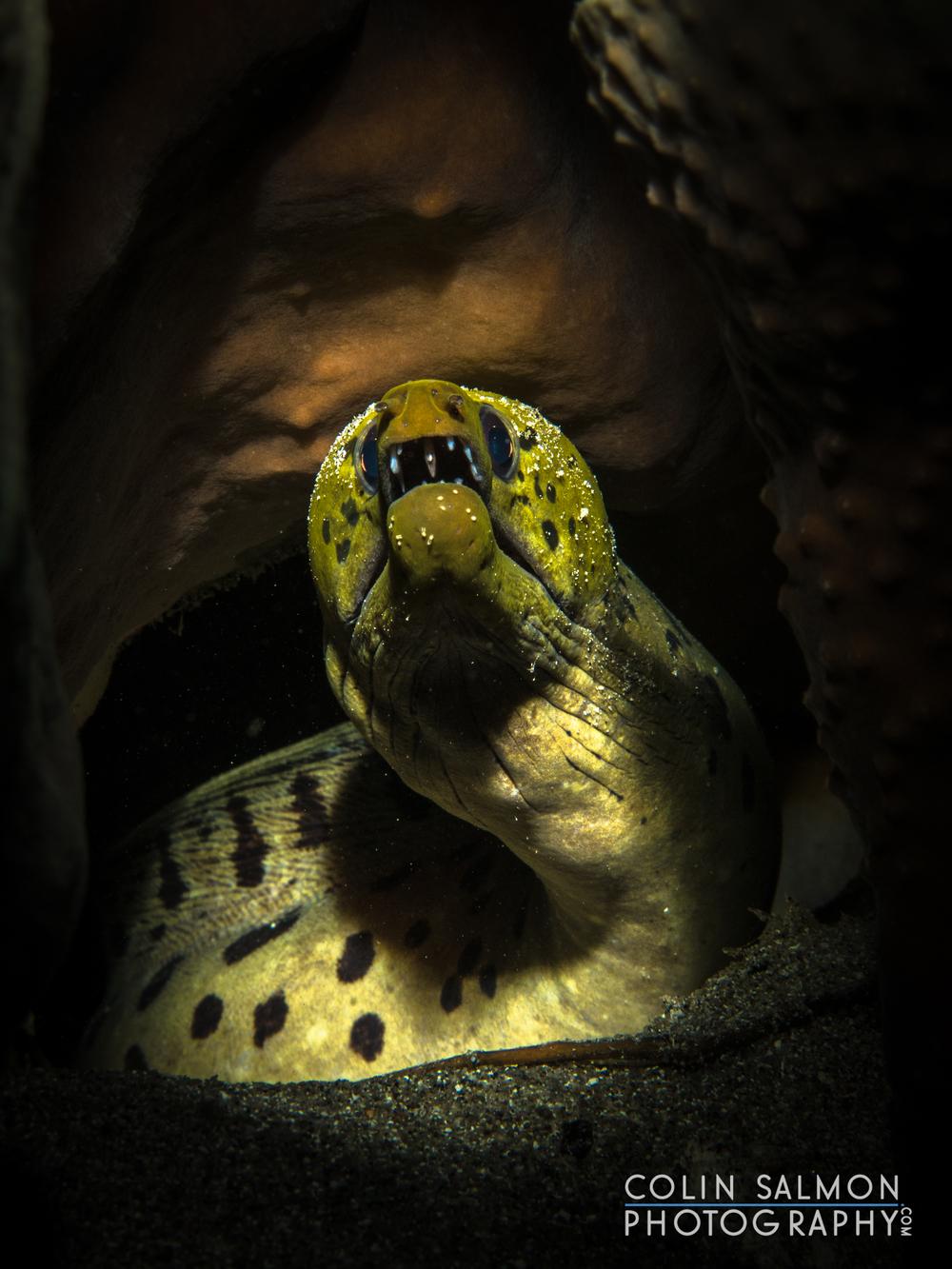 Fimbriated moray  (Gymnothorax fimbriatus)  - Apo Island - Negros Oriental, Philippines