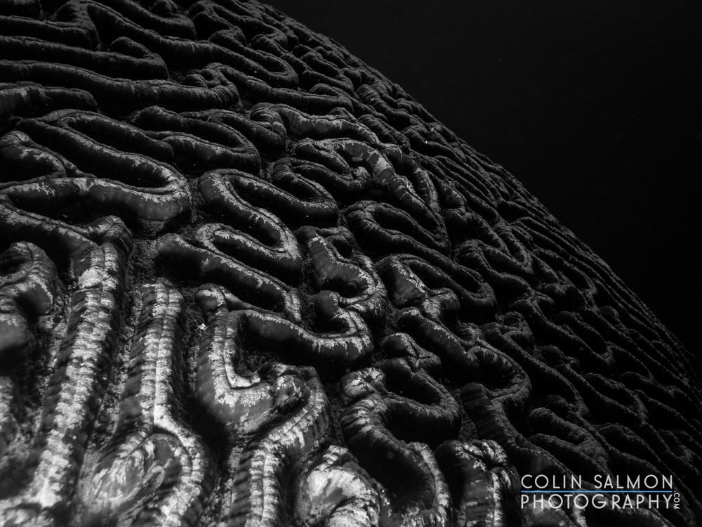 Brain coral or maze coral  (Platygyra sp.)  - Dauin, Philippines