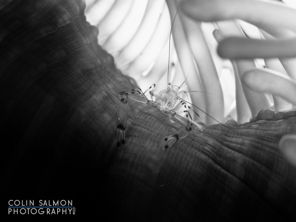Glass anemone shrimp  (Periclimenes brevicarpalis)  -Sail Rock - Koh Phangan, Thailand