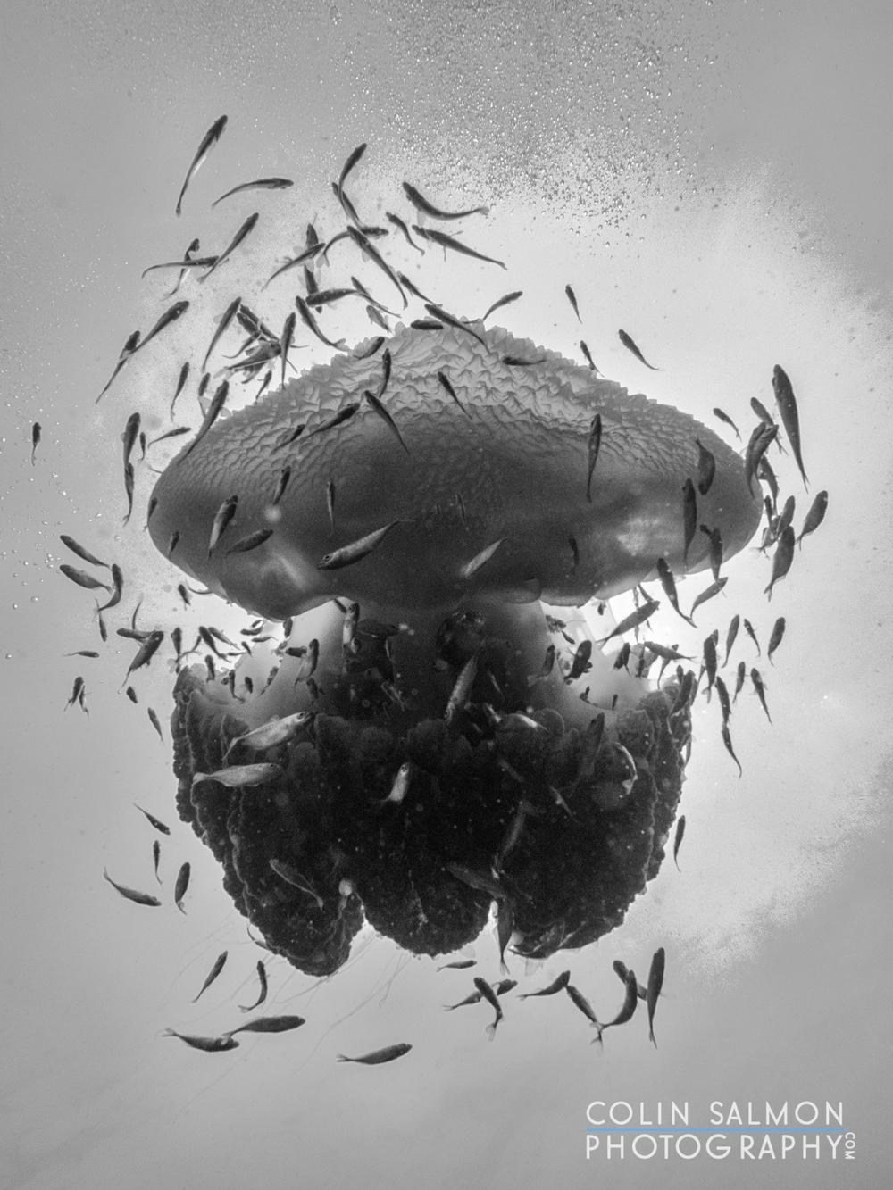 Jellyfish  (Thysanostoma thysanura)  - Sail Rock - Koh Phangan, Thailand