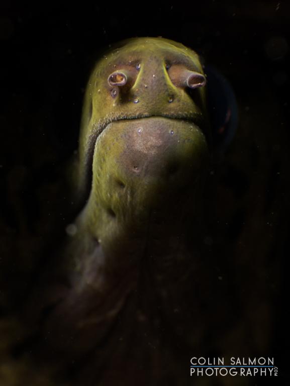 Fimbriated moray  (Gymnothorax fimbriatus)   -  Dauin,  Philippines