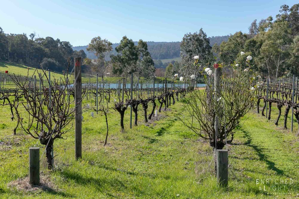 The vines at Myattsfield Vineyard