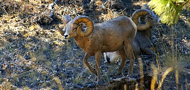 379px-Bighorn_Sheep_on_Wild_Horse_Island,_Montana.JPG