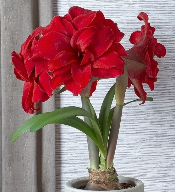 Amaryllis - Blooms only in the winter, when times are dark, cold, quiet. At the least likely time, this radiant flower bursts forth in bright shades of red.
