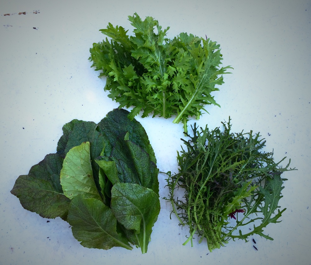 MIXED BABY MUSTARDS: Ruby Streak, Dwarf Frilled, Red Giant