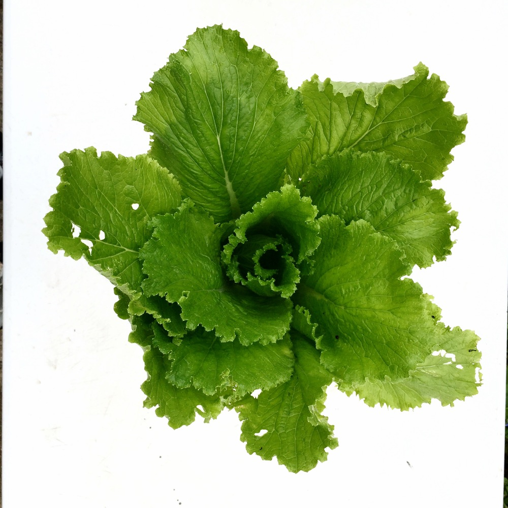 GREEN ROCKET CHINESE CABBAGE