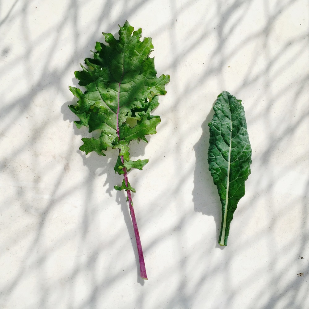 RED WINTER & LACINATO (DINO) KALE