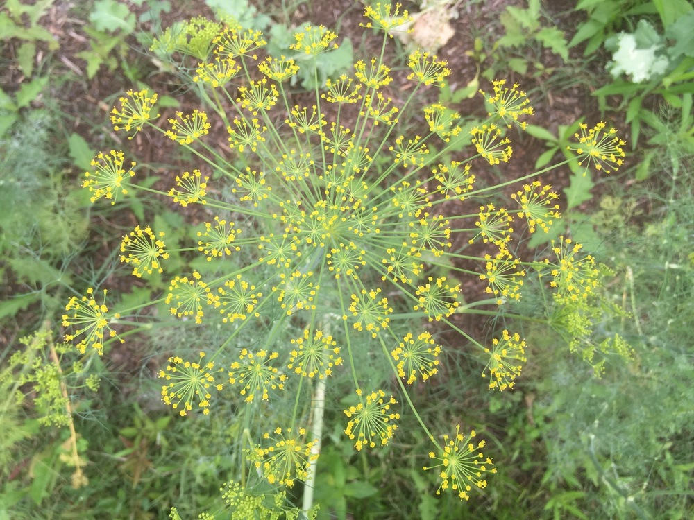 Always transitioning. Leaving dill flowers for our honey bee friends. The patterns mesmerize, like staring into the cosmos...