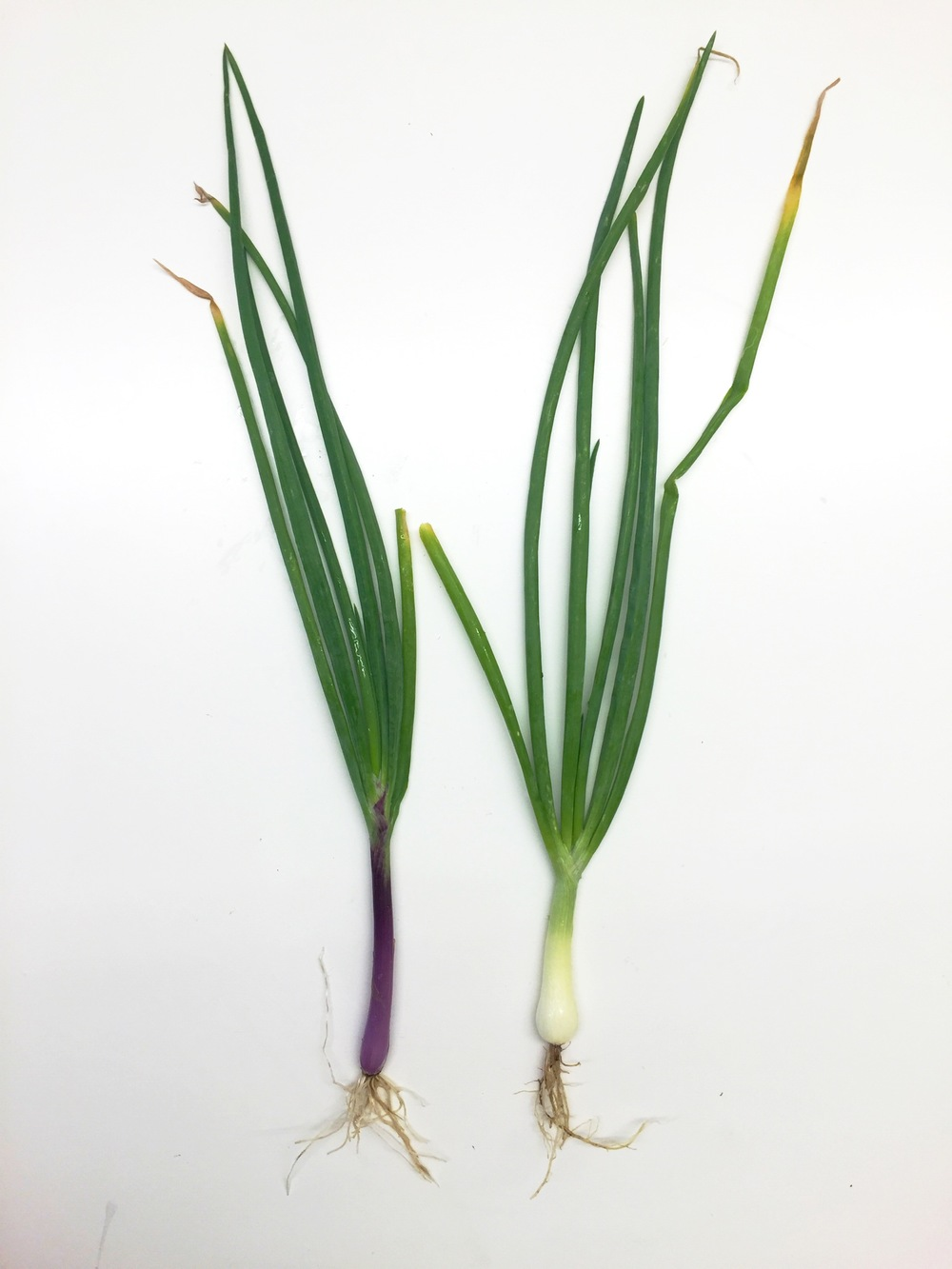 PURPLE & WHITE ONIONS