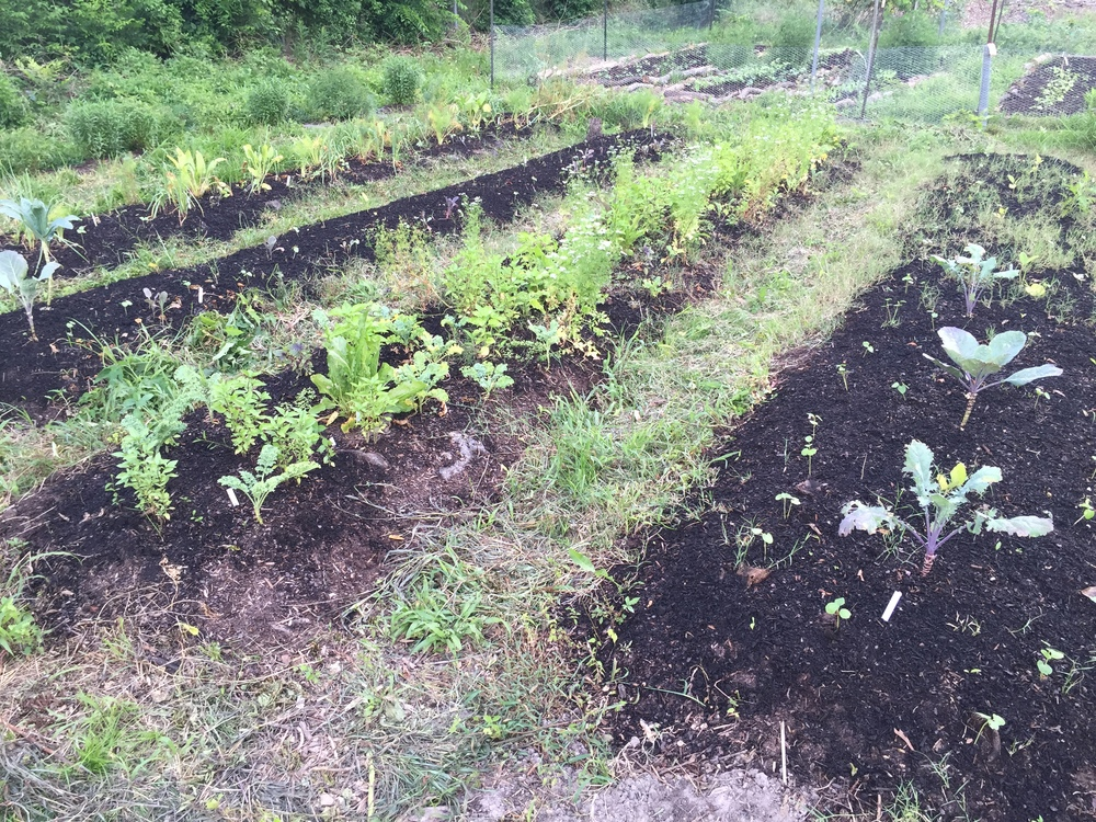 Continuation of annuals zone featuring basils, eggplants. peppers, arugula, Thai Red roselle, okra, and herbs.