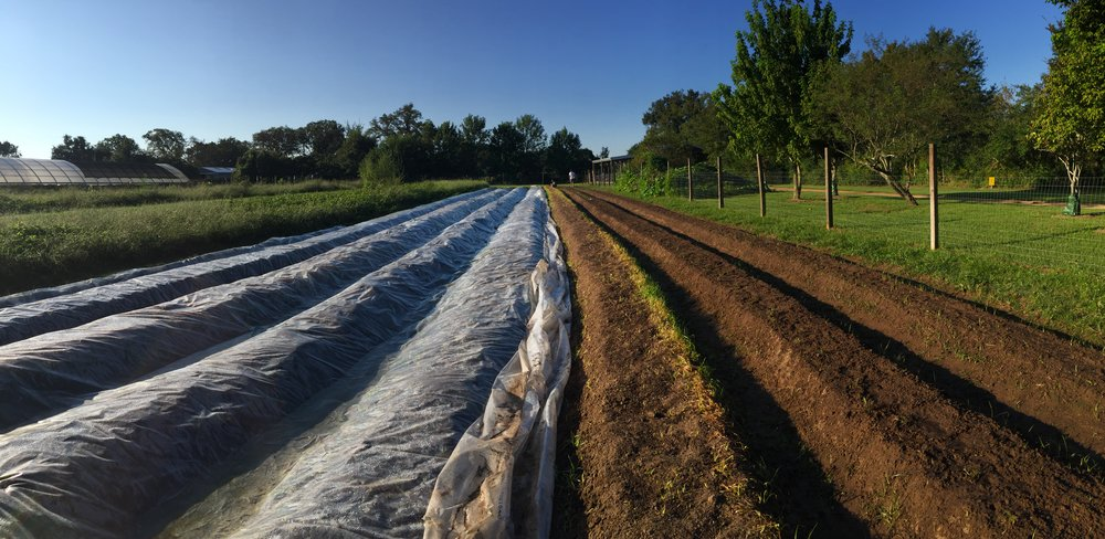 Solarizing crop rows with heavy plastic in the Hopscotch Field to mitigate against the nutgrass outbreak.