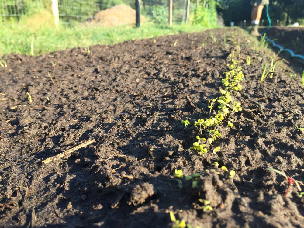 Germination in the Hopscotch Field. (Tendergreen Mustard Spinach)