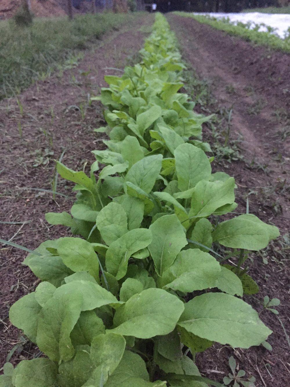 Tendergreen Mustard Spinach.