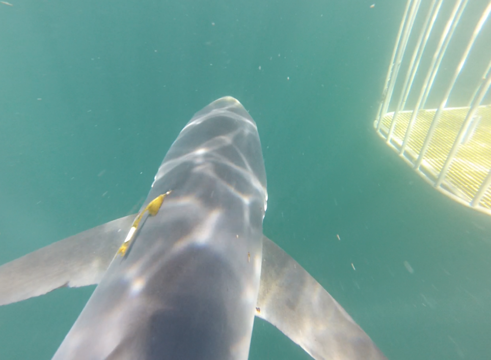Close-up on the NMFS tag on a blue shark