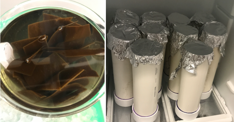 On the left, reproductive kelp tissue (sorus) releasing spores and turning the water milky brown. On the right, our fridge outfitted with settling tubes. The seed spools and spore solution are added to the settling tubes, with sterile seawater and nutrients, and incubated in the dark for 24 hours.  Photo credits: L. Green-Gavrielidis