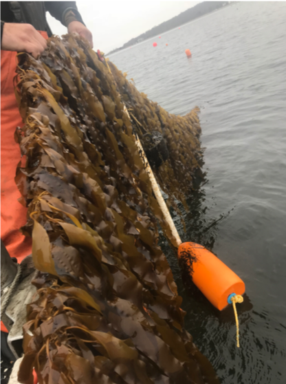 By mid-January, kelp on our Rome Point farm was reaching 3 feet in length!  Photo credit: L. Green-Gavrielidis