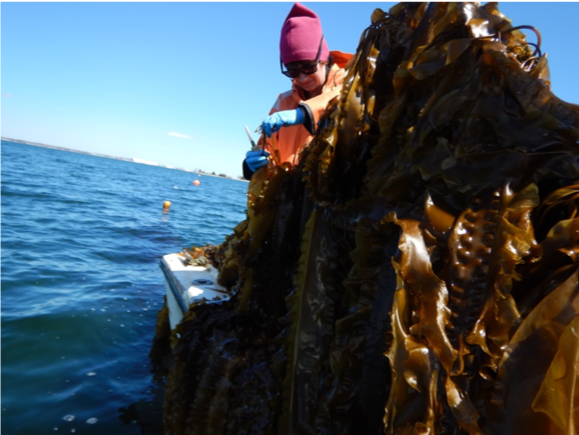 Celeste cuts kelp off the line for productivity estimates.  Photo credit: Austin Humphries