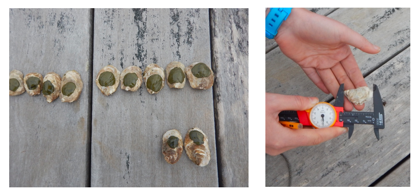 Left: Tagged oysters at Cedar Island Oysters at Point Judith Pond, RI. Right: MS student Celeste Venolia demonstrates how to measure oyster shell height.  Photo credit: Lauren Josephs