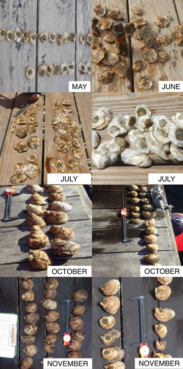 Cedar Island Oysters growth over time at two different sites in Point Judith Pond. Photo Credit: Celeste Venolia.