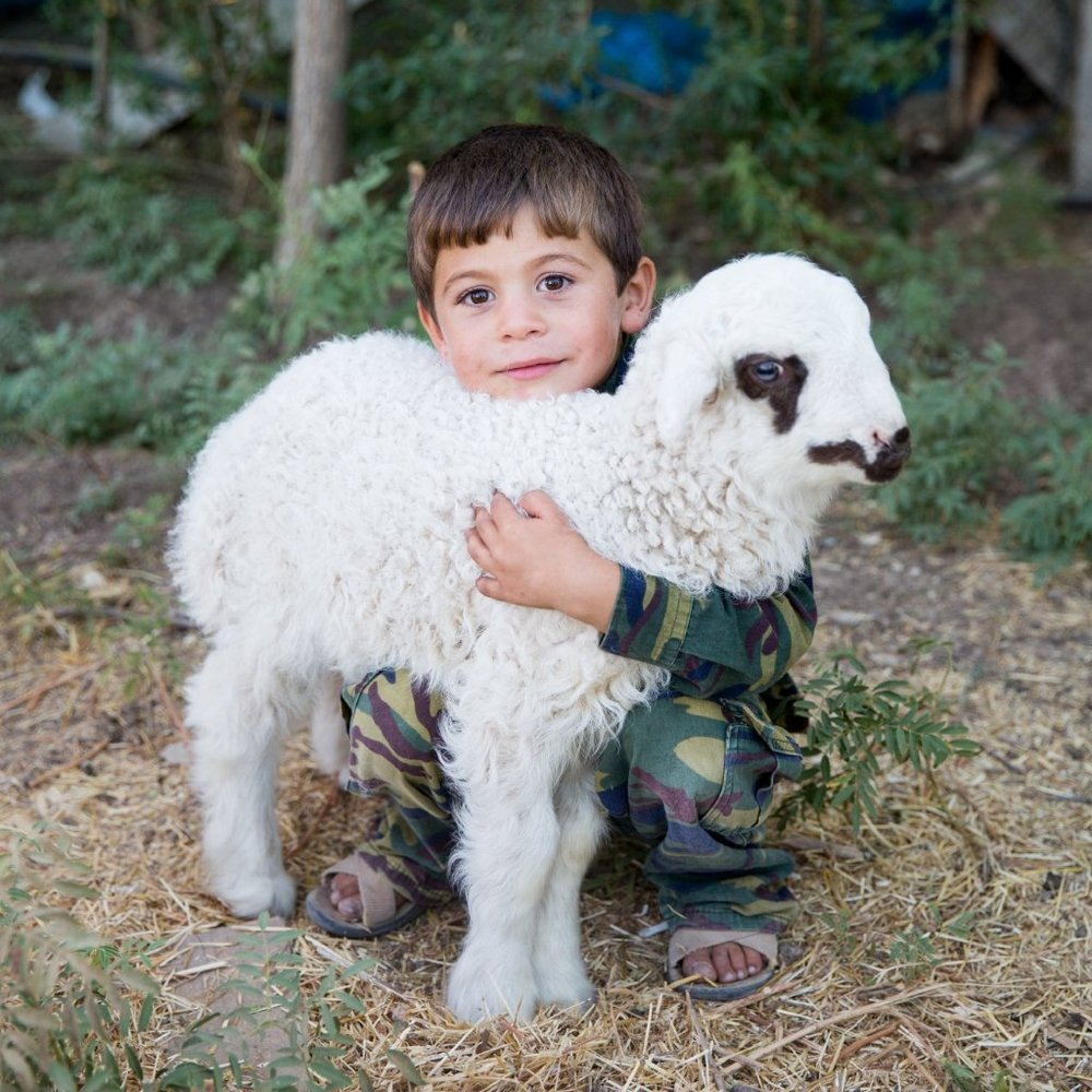 Sheep for a Displaced Family