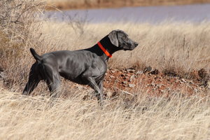 Co Own Dogs Rafter V Weimaranersrafter V Weimaraners