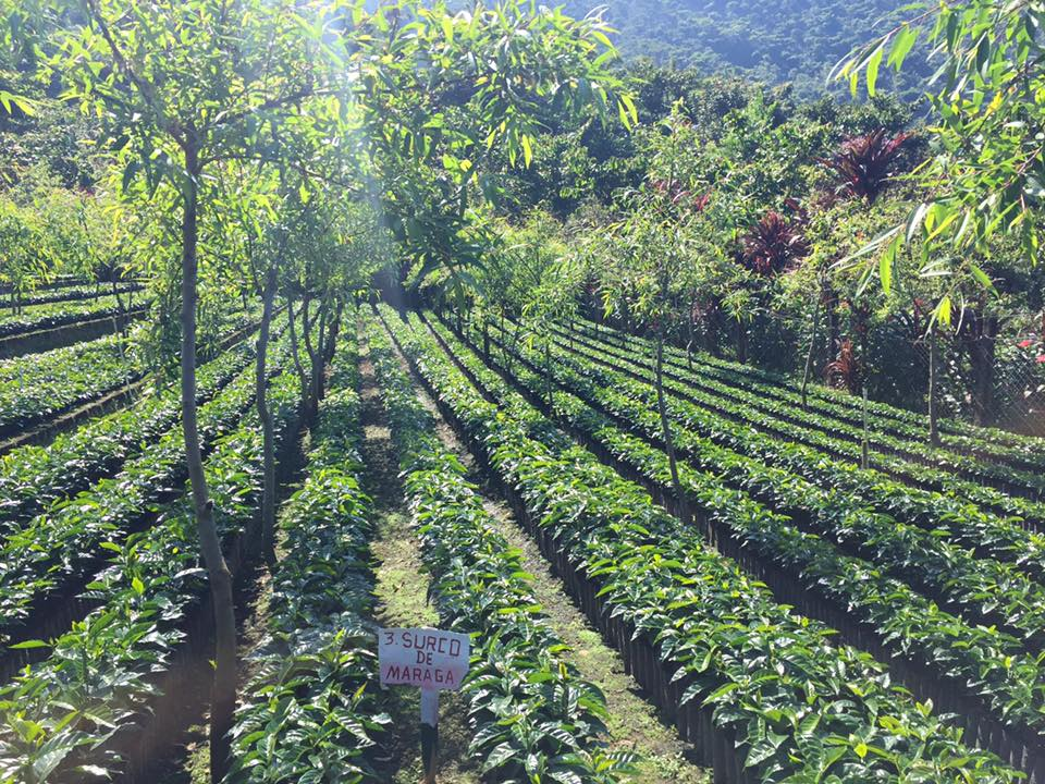 One day these little coffee plants will be planted and start producing some of Guatemala's best coffee.