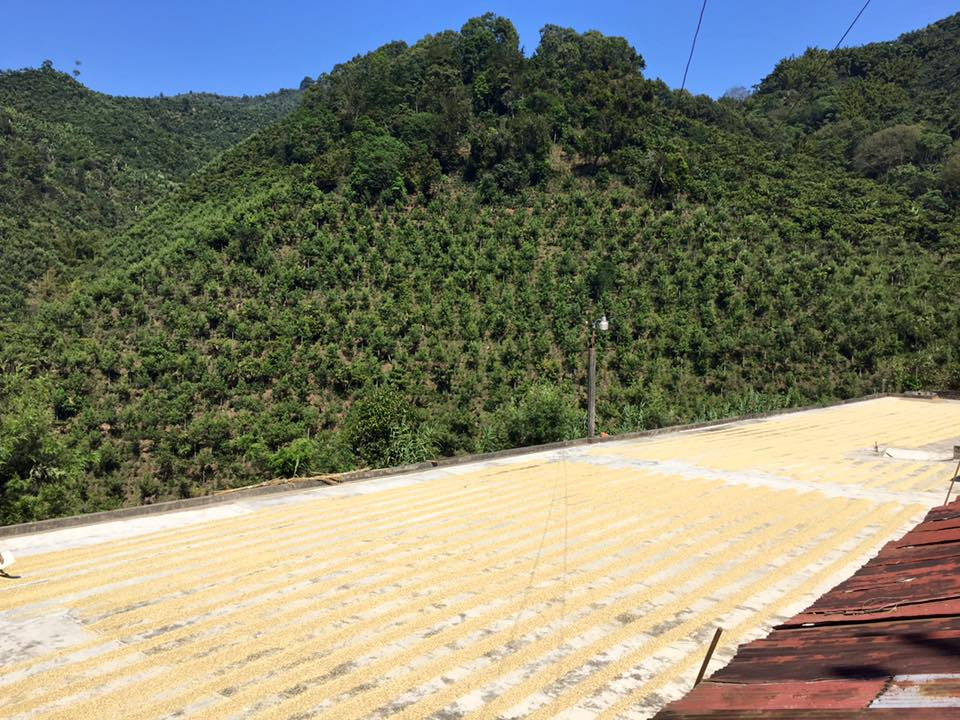 Coffee being dried in the sun on cement patios. This coffee gets raked frequently to ensure proper drying.