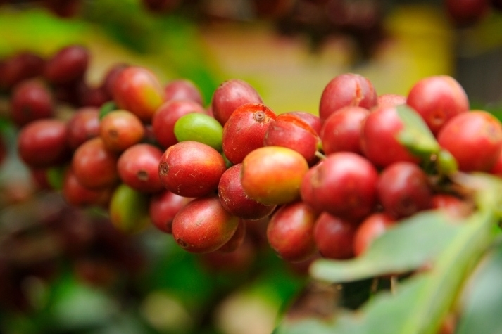 Coffeeberry® Brand whole coffee fruit