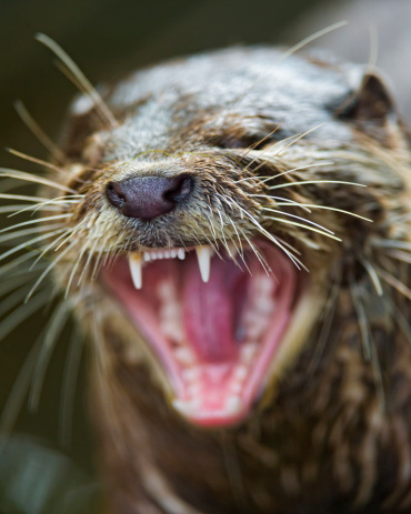 Don't sing like the otter girls. (grrrooooooaaaaaann) (Getty Images)
