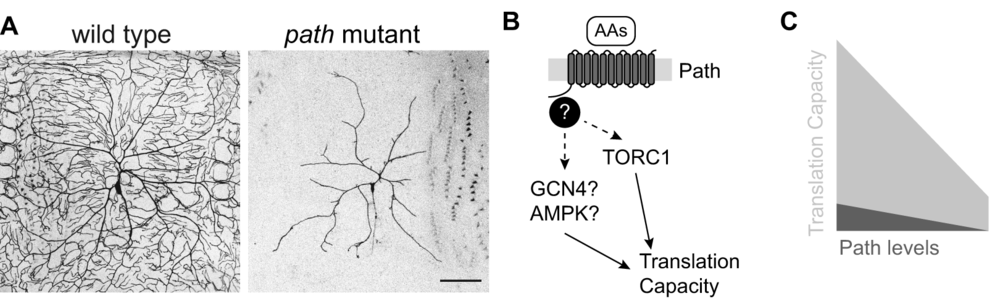 (A) Path is required for dendrite growth in somatosensory neurons. Representative images are shown for somatosensory neuron dendrite arbors in wild type and  path  mutant larvae. (B) Putative pathway for Path-mediated growth control. Path regulates translational capacity in neurons via an unknown pathway that might involve TORC1. (C) Path control of translational capacity. Even in the absence of path function, cells have residual translation capacity that is sufficient to support growth of most cell types under laboratory conditions. A prediction of this model is that stresses that compromise translation efficiency should sensitize cells to a requirement for path function.