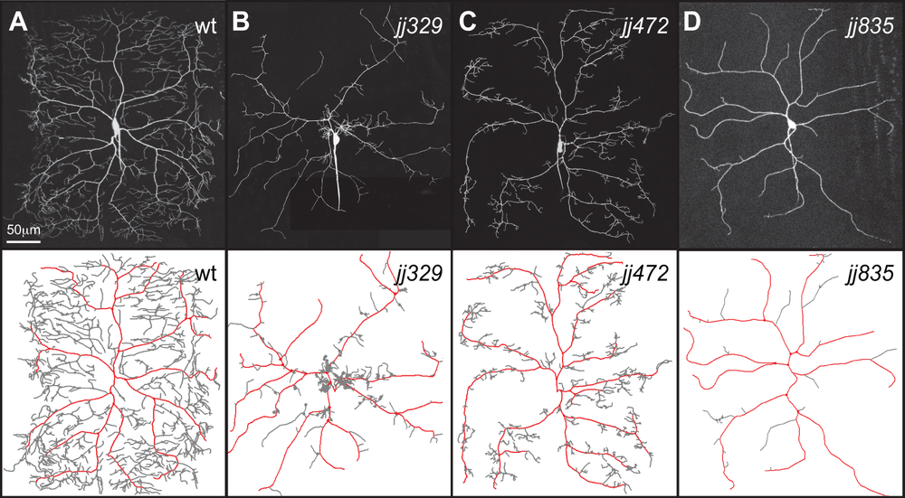 genetic screen for mutations that cause defects in dendrite compartmentalization. Representative neurons are shown for the following: (A) wild type control, (b) jj329, which affects proximal-distal positioning of dendrite branches, (C) jj472, which affects elongation of terminal dendrites but not major dendrites, and (D) jj835, which is required for growth of terminal dendrites but not major dendrites. Traces below neurons depict major dendrites in red and higher order dendrites in gray.