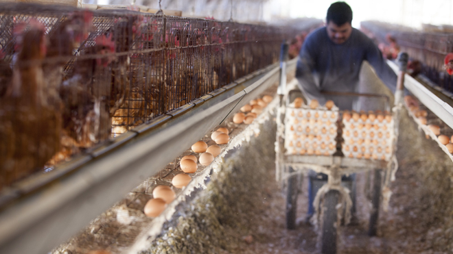 Chicken farms must convert to cage free in California
