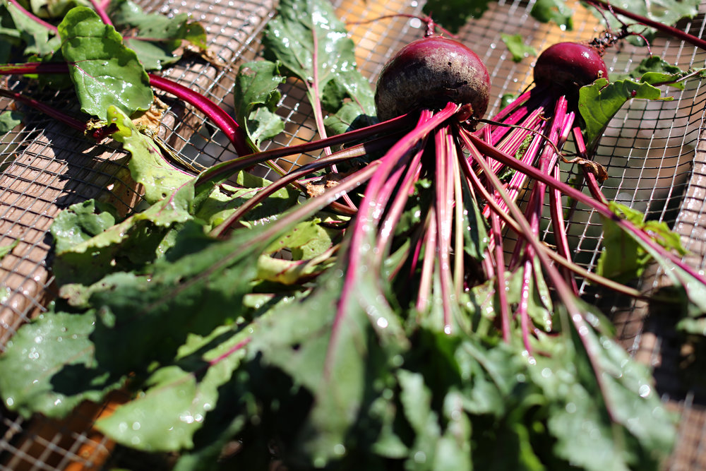 TheShopBeerCo_RhibaFarms_Beets_April2017 6.jpg