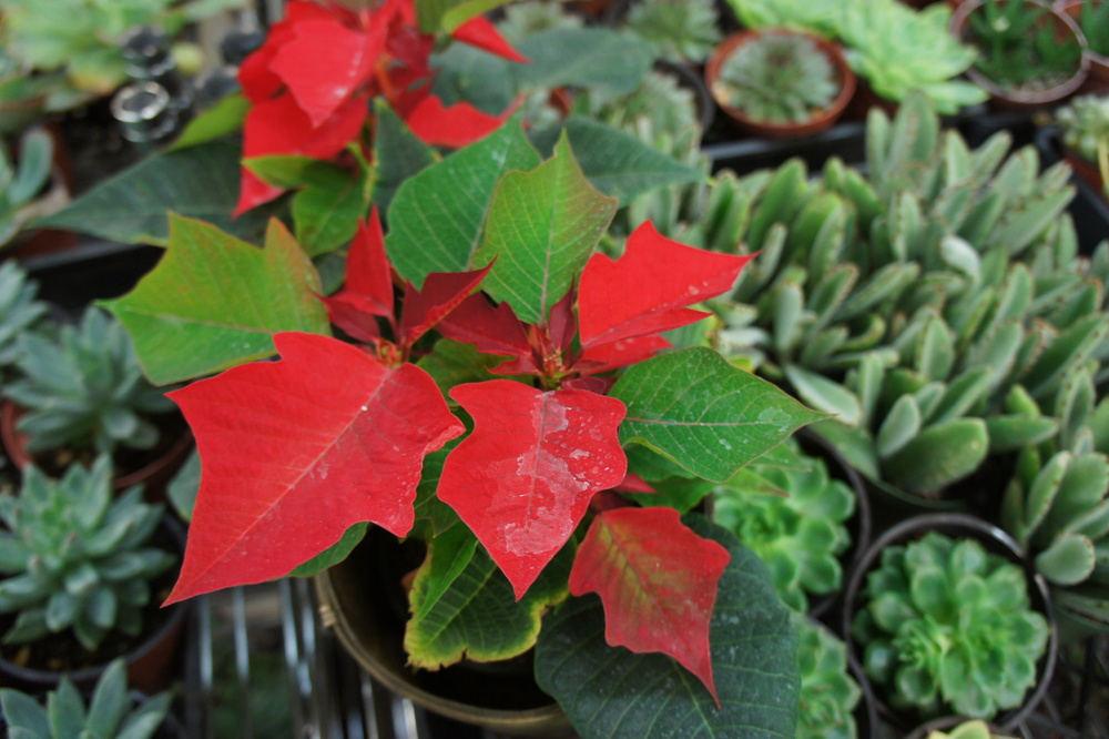 They specialize in succulents and cacti but are also selling Poinsettias during the holiday season.