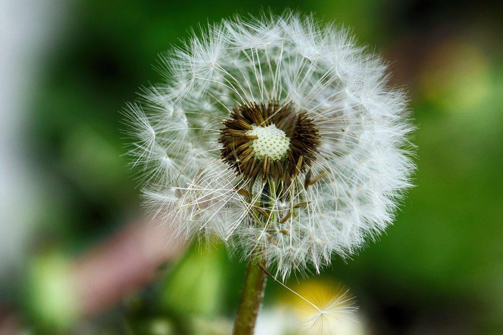 dandelion-3429438.jpg