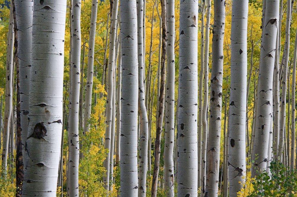 birch-trees-1029086.jpg