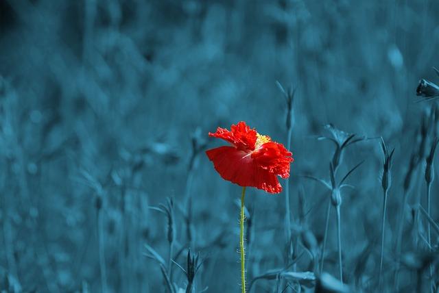 poppy-186635_640.jpg