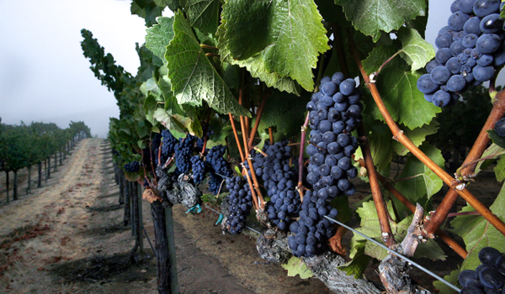 Pinot noir grapes growing at Pisoni Vineyard