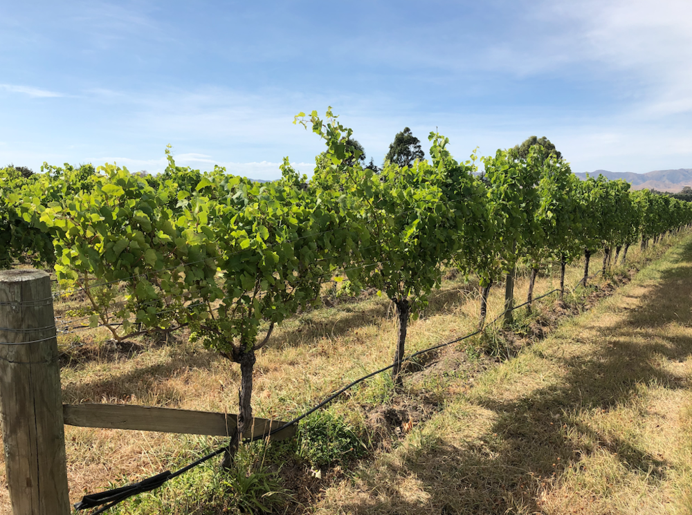 TWR Vineyard
