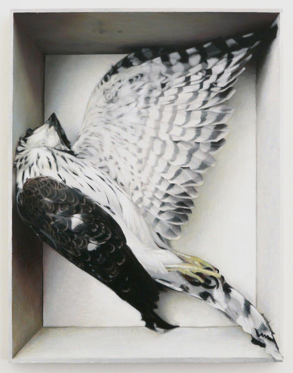 "Coopers Hawk, 14""X11"" oil on panel 2017"