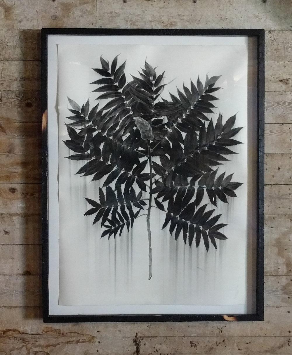 "Sumac, charcoal on paper, 54""X 40"" 2017"