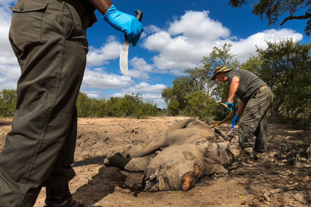rhino wars South african rhino poaching – rhino wars august 24, 2010 images, wildlife 9 comments africa, asia, china, endangered species, poaching, poison, rhinos, sa national parks, south africa, thailand, vietnam, white rhinos.