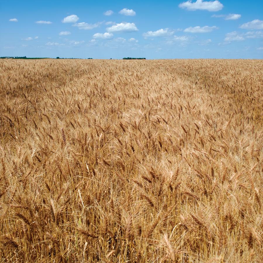 """ Wheat Field, SD """
