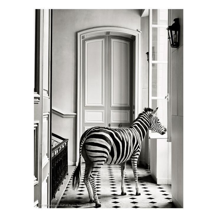 By: William Curtis Rolf , Deyrolle Zebra Composition #2